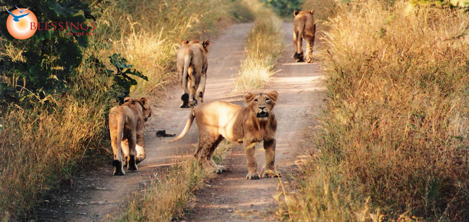 Wildlife Gir National Park